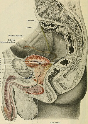 Male genitals diagram