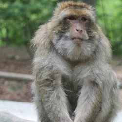 A rhesus monkey is showm sitting on a branch.