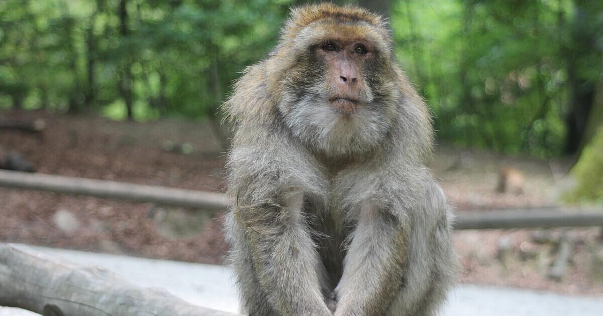 A rhesus monkey is showm sitting on a branch.